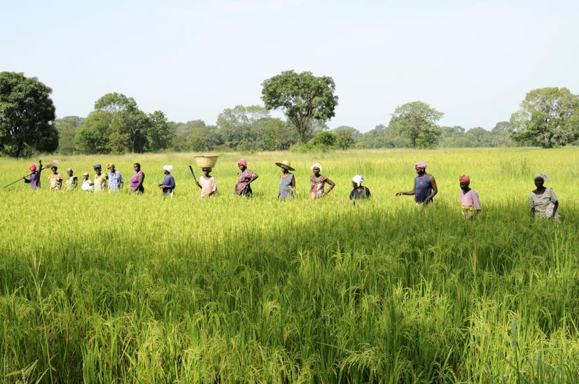 Au coeur des rizières, Casamance, Sénégal 2015