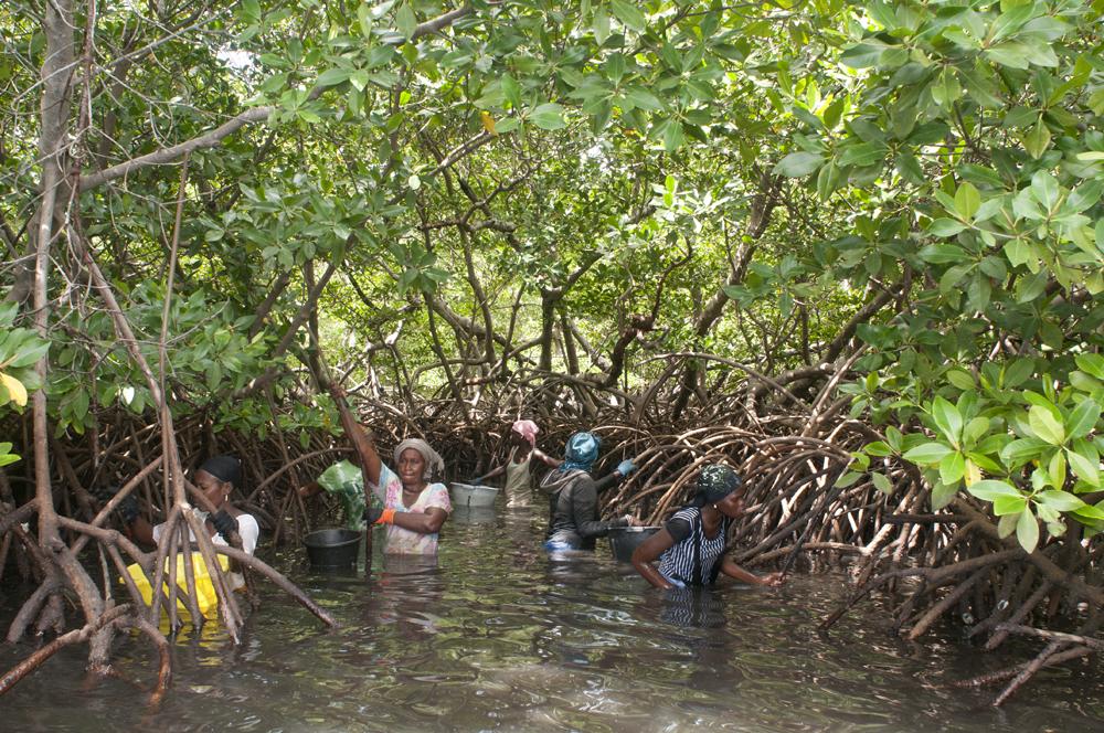Pêcheuses d'huitre au coeur de la Mangrove, Soucouta, Sénégal 2017